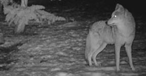 coyotes-san-marcos